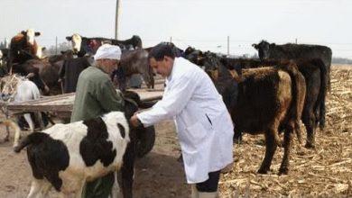 الحمى القلاعية..عملية تلقيح الأبقار ماتزال مستمرة في ربوع المملكة 2