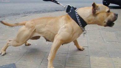 كلب بيتبول يتهجم على رجل أمن بوزان 2