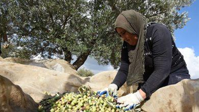 قطاع الزيتون يدر على المغرب مايعادل 1.8 مليار من العملة الصعبة سنويا 4