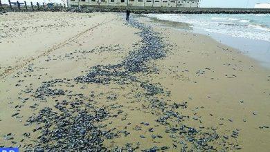 """ظهور """" قنديل البحر المزيف """" في شواطئ الشمال 2"""