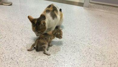 قطة تصطحب صغيرها المريض وتتوجه به إلى مستشفى 6