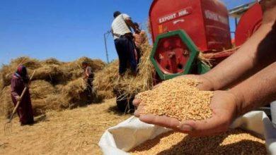 تحديد سعر بيع القمح المغربي للمطاحن في 280 درهما للقنطار 5