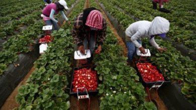 بعد أشهر من المعاناة..إتفاق لإعادة الآلاف من عاملات الفراولة إلى المغرب 5