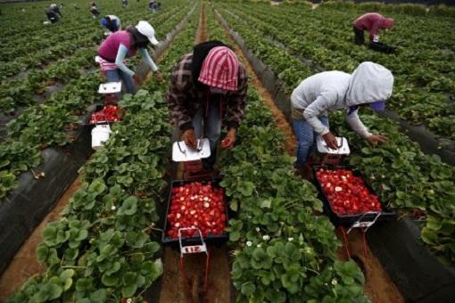 بعد أشهر من المعاناة..إتفاق لإعادة الآلاف من عاملات الفراولة إلى المغرب 1