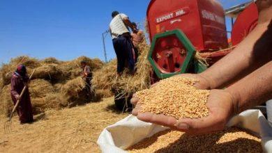 تراجع إنتاج الحبوب بالمغرب بحوالي 40 في المائة 3