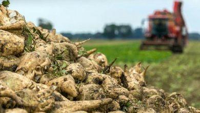 إنتاج قياسي للزراعات السكرية بجهة طنجة 3