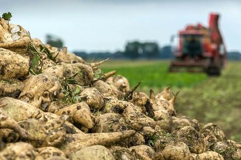 إنتاج قياسي للزراعات السكرية بجهة طنجة 1