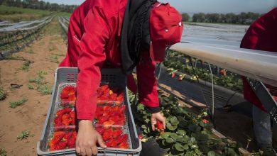 """إسبانيا تستقبل 500 عاملة مغربية لجني """"الفراولة"""" 2"""