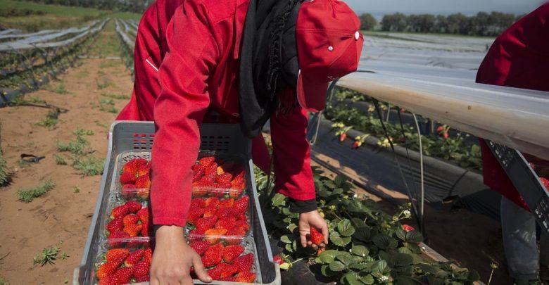 """إسبانيا تستقبل 500 عاملة مغربية لجني """"الفراولة"""" 1"""
