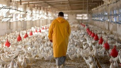 مربو الدجاج يناشدون السلطات للتخدل لحمايتهم من إنفلونزا الطيور 6