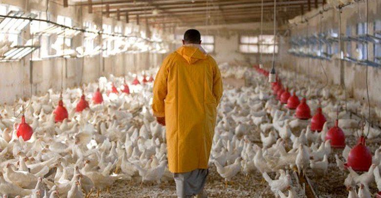 مربو الدجاج يناشدون السلطات للتخدل لحمايتهم من إنفلونزا الطيور 1