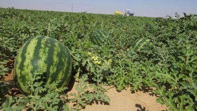 أونسا: بذور البطيخ الأحمر المستخدمة في زراعته بالمغرب غير معدلة جينيا 4
