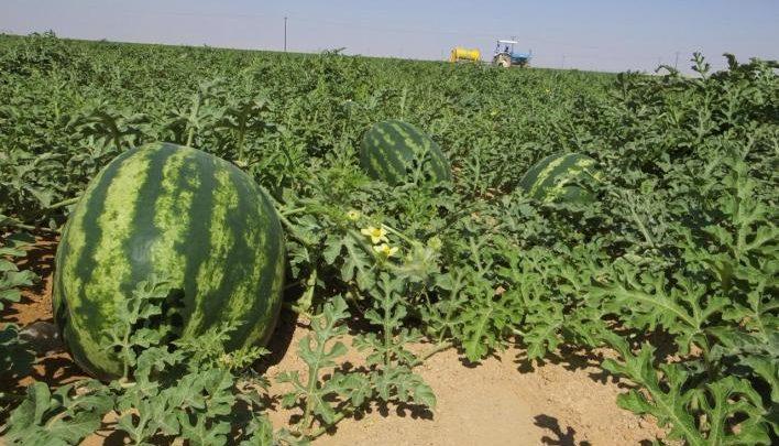 أونسا: بذور البطيخ الأحمر المستخدمة في زراعته بالمغرب غير معدلة جينيا 1