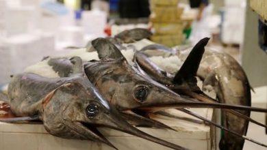 مندوبية الصيد بطنجة تقرر وقف نشاط صيد سمك أبو سيف 5