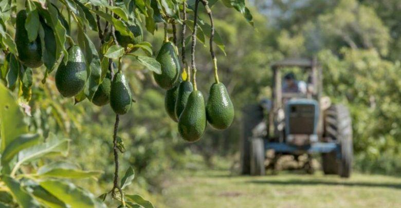 """إسرائيل تستثمر في مشروع زراعي ضخم لإنتاج """"الأفوكادو"""" بالمغرب 1"""