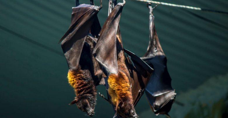 علماء يعثرون على 3 فيروسات مماثلة لكوفيد-19 في خفافيش تعيش في كهوف 1